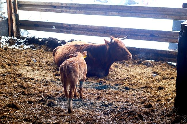 Eine der ersten Kühe im Biobetrieb - sie geht umsichtig mit ihren Hörnern um, eine Garantie gibt es dennoch nicht der Herde