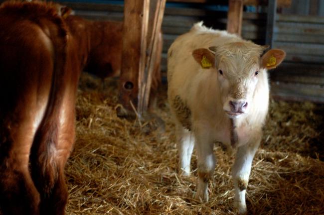 Die jungen Rinder in ihrer Großraumbox