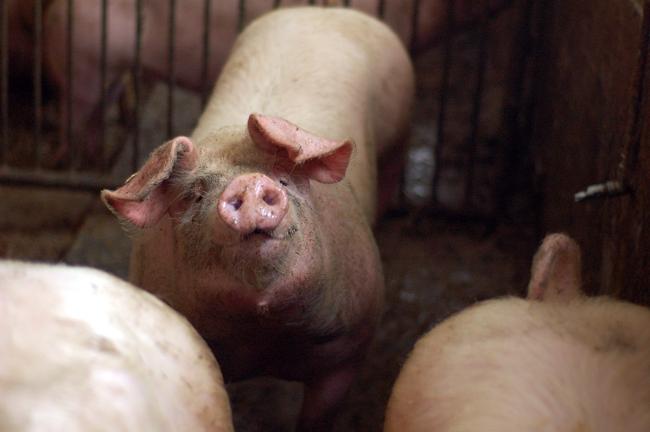 Konventionelles Schwein mit Bio-Feeling