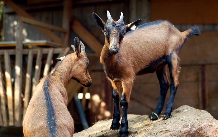 Glückliche Ziegen im Ziegenzuchtverein Steinfeld