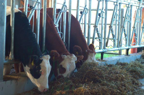 Rinder im neuen Laufstall links